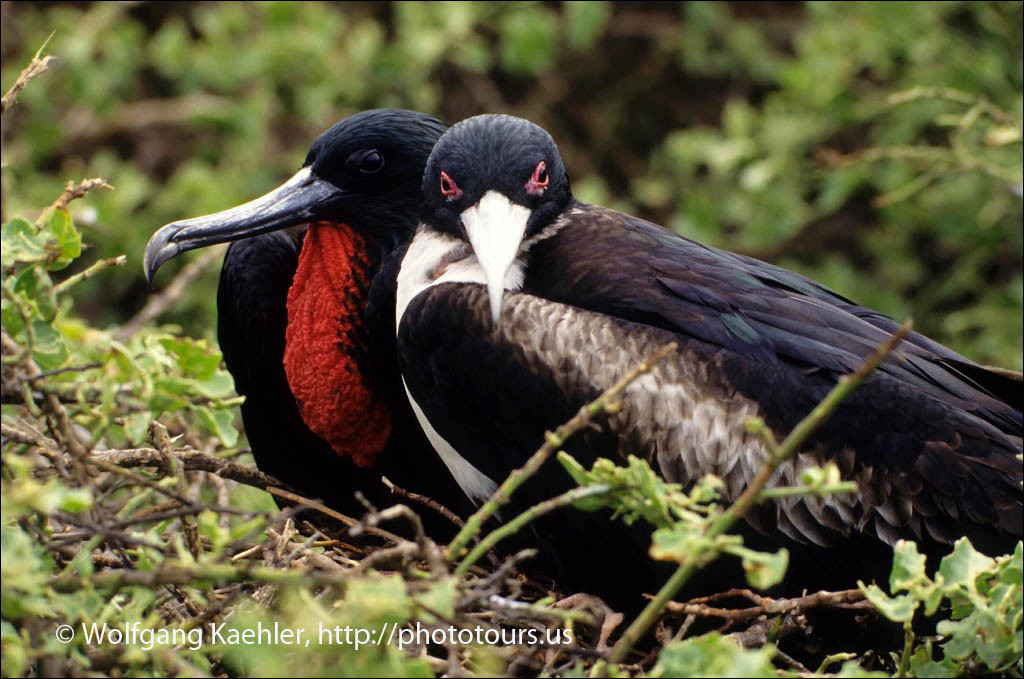 ECUADOR,GALAPAGOS ISLANDS, TOWER ISLAND, FRIGATE BIRDS, MALE AND FEMALE ON NEST