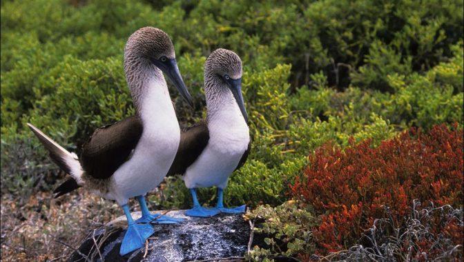 SOUTH AMERICA, ECUADOR,GALAPAGOS ISLANDS ESPANOLA (HOOD) ISLAND,BLUE-FOOTED BOOBIES COURTSHIP BEHAVIOR