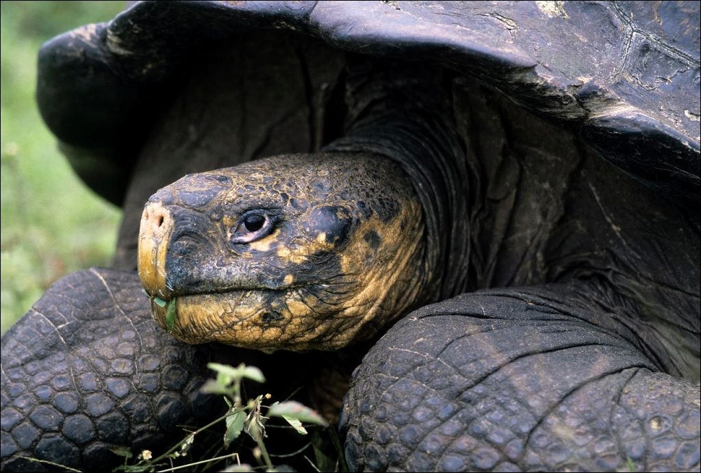 ECUADOR, GALAPAGOS ISLANDS SANTA CRUZ,HIGHLANDS,GALAPAGOS TORTOISE (Geochelone elephantopus)